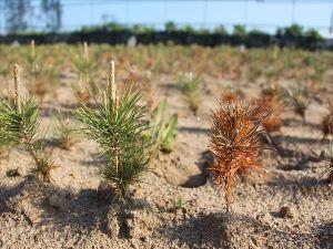 左・中は生育。新芽が伸びている。右は枯損