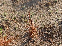 通常だと、未成熟と判断した小さな苗は捨ててしまうが、大事に移植まで行ったが、小苗の成績は芳しくない。