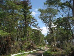 クロマツとヤマザクラが見事に混交林となっている海岸林。 (仙台市内国有林 撮影:2011年7月)
