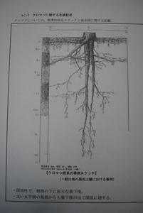 クロマツの根 深根性、3mにもなる「直根」が大きな特徴。