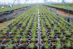 5月連休明け播種の「マツノザイセンチュウ抵抗性」クロマツ苗