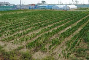 第1・2育苗場あわせて165,000本育てています。植栽は5,000本/ha