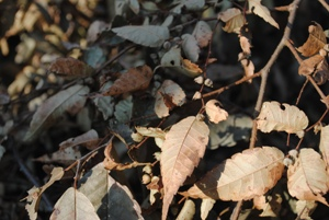 小さな粒がケヤキの種子。 わかりますか?