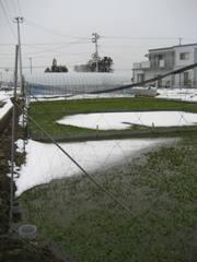 仙台セリ」のセリ田。名取市は良い地下水に恵まれているため、たくさんのセリ田があります。冬でも水に腰まで浸かって仕事をするんで すよ。JRの南仙台~名取駅間の両側から見ることが出来ます