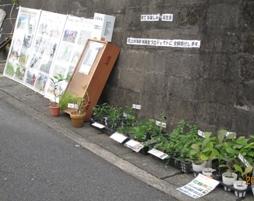 自作のパネル展示と実生苗の販売
