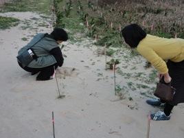 飛砂でマツも埋まる(幣の松原)