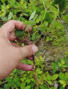 名前は分かりませんが、一枚の葉は人の爪ぐらい