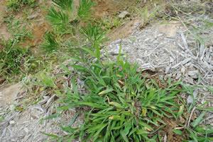 これはまだ出たばかり。大きくなると葉の茎が親指ぐらいに太くなります
