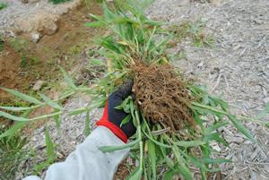 根元で刈った後は、土をふるい落とします