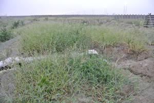 90日以上効力がある有機化成肥料を、植栽直後から梅雨入り前までに施肥 しています