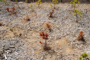 他団体。2年前植栽でも、溝切りしないと4割以上枯損