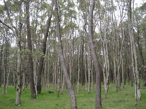 内陸側に植林したと思われるクスノキ群。細いが樹高は高い。(海洋町大里松原)