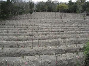 竹や広葉樹の雑木を伐採し、地面を重機で掻き起こしてからクロマツを植栽(阿南市中林海岸林)
