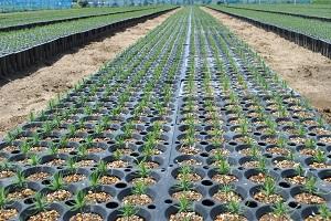 5月2日に約10万粒蒔きました。発芽率94%