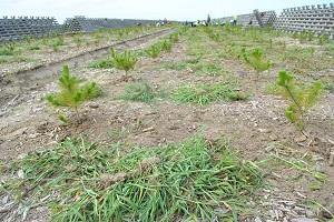 処理後。刈った草を根の周りに置かず、裏返し、根を上にして枯らす