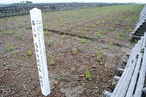 ここは草が出ていません。一番手前のマツは村井知事や佐々木市長の植栽です。