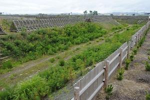 ニセアカシア並木。今年も徹底的に戦います。盛土の上にたくさん上がってきました