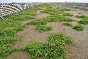2017年植栽予定地のつる豆草。先手必勝で種をつけるまでに抜いてしまおう。