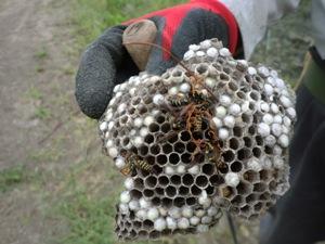 アシナガバチの巣はスズメバチと違ってむき出しなのです