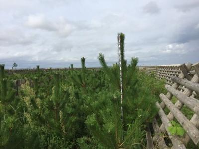 2mを超す高さの植栽木
