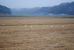 松島町北部では、もっともっと数多くの白鳥を見れる場所もあります