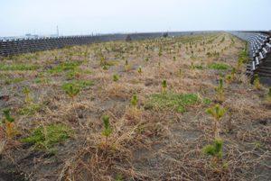 閖上港横の植栽地。生育率100%