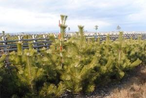 2014年植栽7万本中樹高最大220cm(根元径6.1cm)