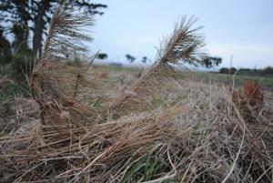 砂地のため、強風に日々「回される」(あおられると根元周りに丸い空間ができる)と「根返り」して枯損する