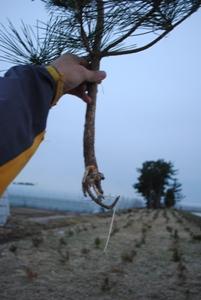 これは内陸防風林でのネズミの食害。水分を欲しがって根をかじる
