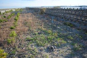 砂地の植栽地水色の目印が2016年補植。木の杭はその調査対象