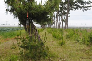 雨水除けのため枝の下に設置(仙台空港北側、内陸防風林4列目南端)