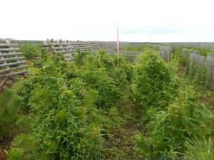 2015年植栽地の樹高1m強のクロマツにツルマメが巻き付く