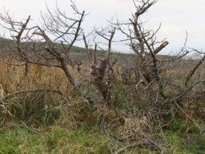 「台風よりも爆弾低気圧」。苦労の末、根付かせた樹齢50年のクロマツが、枯れてしまう無念は想像に余りあります