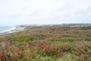 静岡県御前崎市 遠州灘海岸林これも忘れられない光景です。すごく感動しました。松くい虫ではありません。これだけ枯れているようでも、潮風に耐えて、みな生きていますから