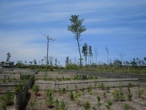 太平洋側某県民有林にて。幅600mの海岸林は松くいで壊滅(2012年)