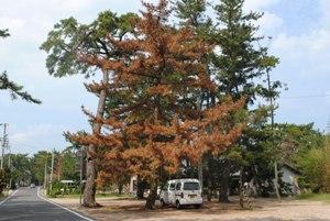 西日本某県の海岸林巨木群も、ひたすら毎年枯れ続けている