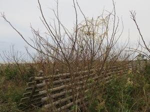 名取市内海岸林クロマツ造林地にて 来年は完全に松を覆うでしょう。誰かが処理しなければならない。(2017年11月)