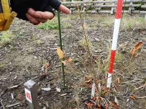 タブノキ。辛うじて新芽だけはあるが今年生きられるか・・・50㎝の穴を掘り、液肥と給水ポリマーを混ぜた良い土をたっぷり入れて最適期に植えたが