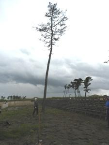 「吉田さん、この枯れたマツ、伐った後に植えたほうが良くないですか?」と、我々監督や現場代理人より早く、その場で気付いて提案してきた中堅