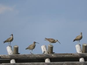旅鳥チュウシャクシギ 今日は数えられないぐらい見ました
