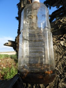 まだスズメバチの女王バチの捕獲ナシ