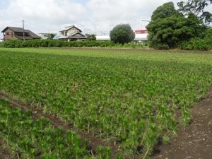 浜松は植木の街、苗木の街。クロマツの苗畑もあります