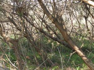 十年以上手入れなしの最前列。枯損寸前。樹高に対して葉のない枝下の比率は9割。すべて伐ってやり直すしかない