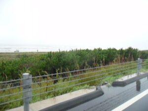 千葉県北部の沿岸を車で走っている途中にマツを発見!