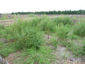 去年植林されたものは竹すの中ですくすく育っています
