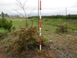 2015年植栽で梢頭枯れした跡が残る。翌年萌芽更新で生き延びたコナラ。葉の色は良くない