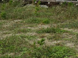台風前、99%の苗がまっすぐ立ってました