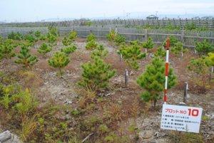 調査地No.10 2014年5月植栽 抵抗性クロマツ(名取2工区)撮影:2017年11月