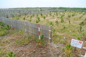 調査地No.15 2015年10月 秋植え植栽試験 抵抗性クロマツ(名取11工区)撮影:2017年11月