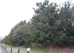 焼津とは異なる海岸林の植栽